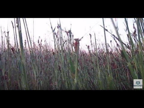 Перелетная азиатская саранча атаковала крымские поля
