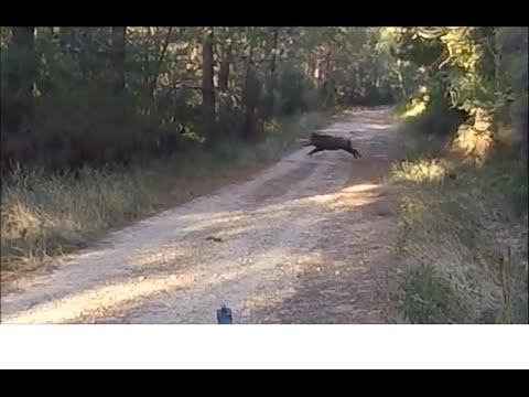 Battue Aux Sangliers En Cévennes (GARD) [HD] 2015-2016 Gopro Hero 4 : Boar Hunting Gard