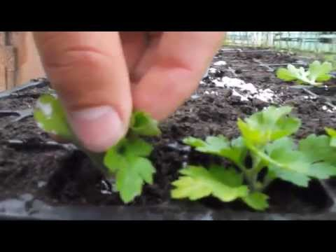 как вырастить рассаду хризантем?Размножение хризантем