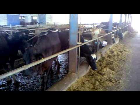 calf farming in pakistan smeda