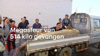 Chinese vissers vangen monstersteur van 514 kilo - RTL NIEUWS