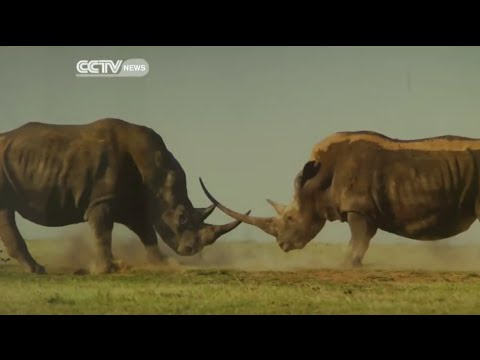 Almost 500 Rhinos Killed This Year in South Africa