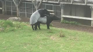 Tapirs en action
