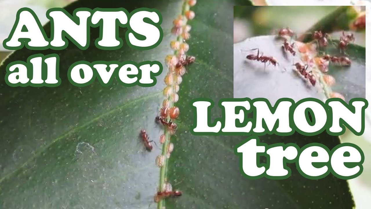 Bugs That Eat Trees Citrus Tree Eating Aphids
