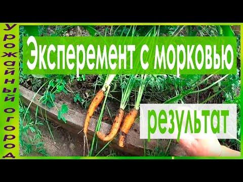 Морковь рассадой – советы для раннего урожая