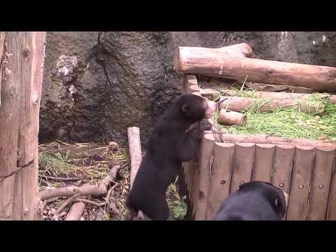 上野動物園のマレーグマの赤ちゃんその2  The sun bear cub