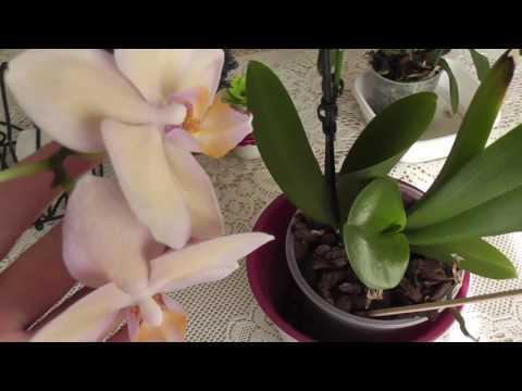 Неожиданно!!! ароматная орхидея