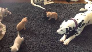 Dalmatian Puppies meet the Kittens. Take 5. of the kittens!