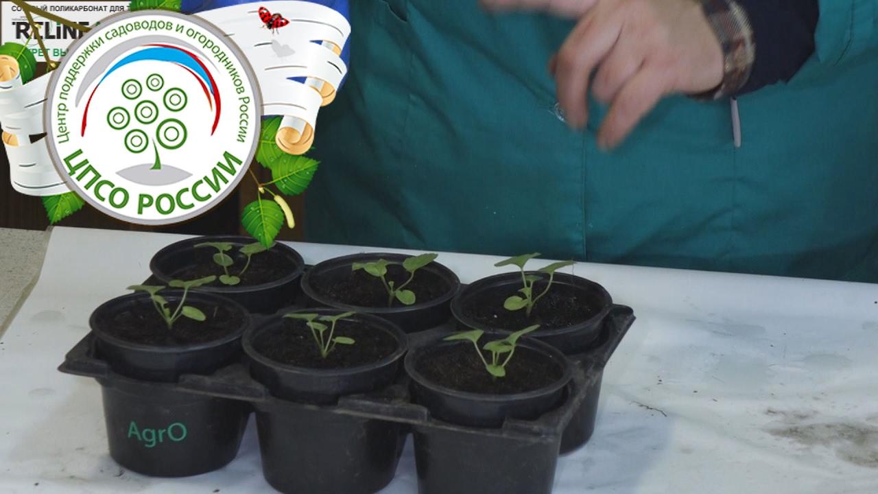 Выращивание калачика 5