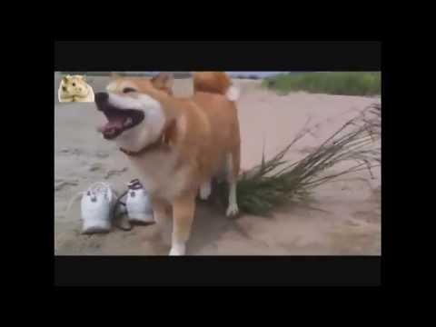 Самые прикольные и веселые собаки Сиба-ину 3. TOP Funniest Shiba Inu 3 Videos