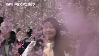 【日本の桜】秋田・角館市の桜