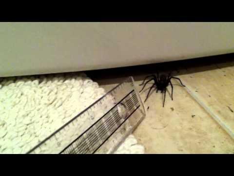 Huge UK house spider