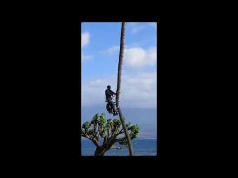 Coconut Tree Trimming Maui...#2