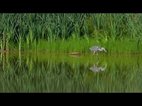 Graureiher und Eisvogel an der Rosdorfer Tonkuhle