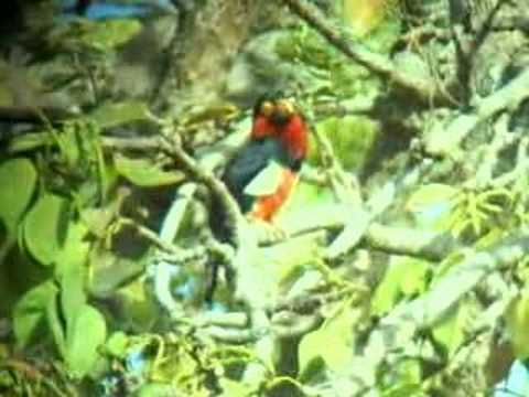 Bearded Barbet (Lybius dubius) Video
