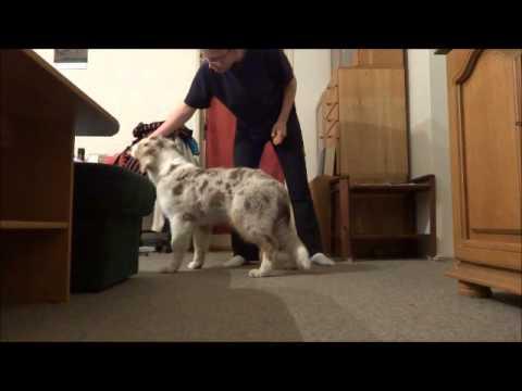 Australian shepherd 4,5 month puppy