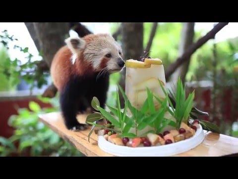 レッサーパンダの16歳の長寿のお祝いにタケノコとフルーツのケーキでお祝い♪