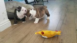 Bulldogs puppies play time
