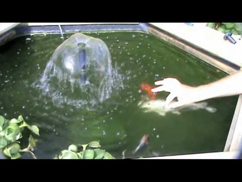 Our koi carp gold fish hand feeding in our raised koi pond for Goldfish pond filter