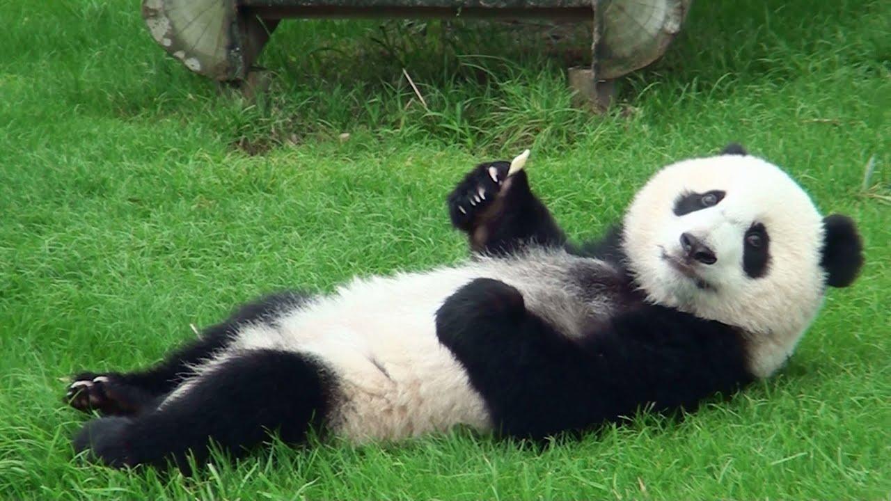 よっ!な感じのパンダがかわいい