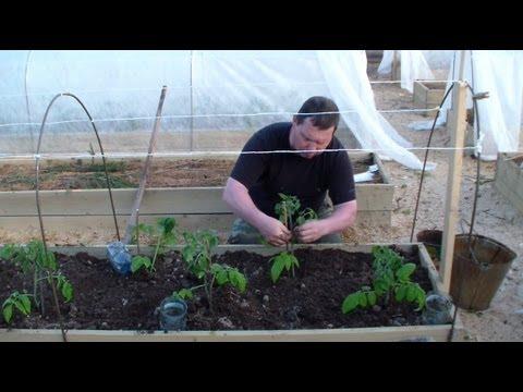 Видео как высаживать помидоры