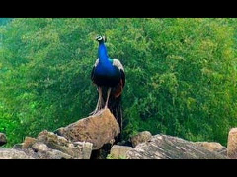 Peacock in Bateshwar