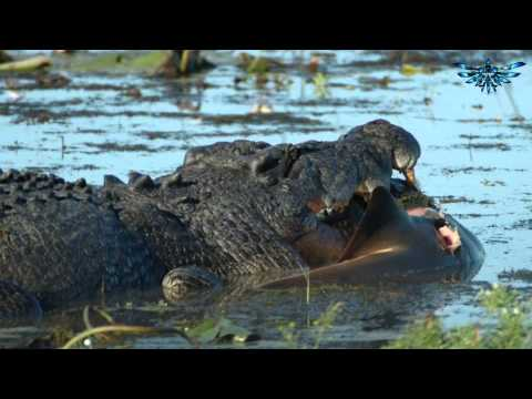 Crocodiles eating a human shocks tourists on Zambezi sunset cruise