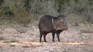 Cricket vs Pecari - Javelina