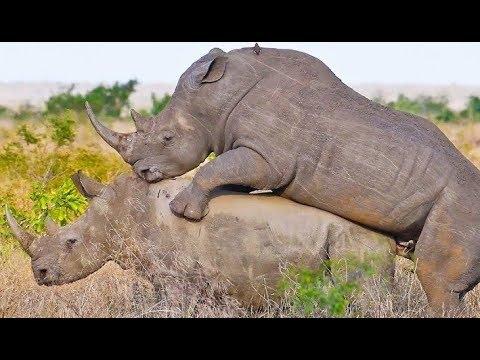 দেখুন কিভাবে পুরুষ গণ্ডারের যৌন নির্যাতনে মাদি গণ্ডারের মৃত্যু হল !/ Sex violence in the rhinoceros! thumbnail