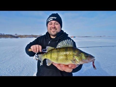 North Dakota Perch Feeding Frenzy --