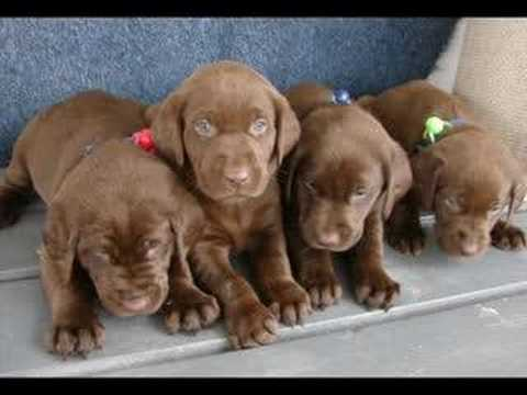 Chocolate Labs Puppies Youtube
