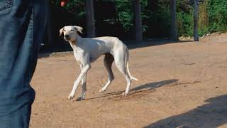 chippiparai mayilla pillai color dog