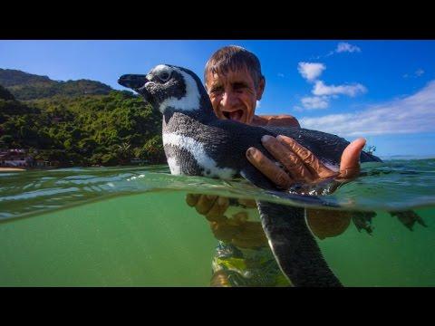 Пингвин проплыл 8000 км чтобы встретить своего спасителя