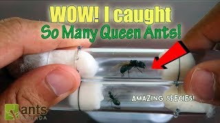 Catching So Many Queen Ants