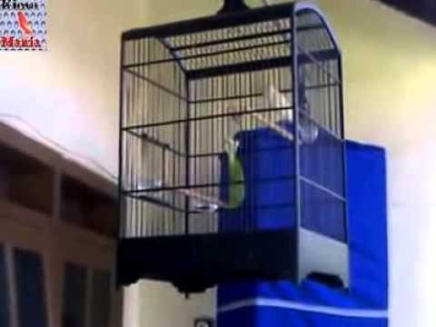 Suara Kicau Burung Kenari Af Putih Panjang video