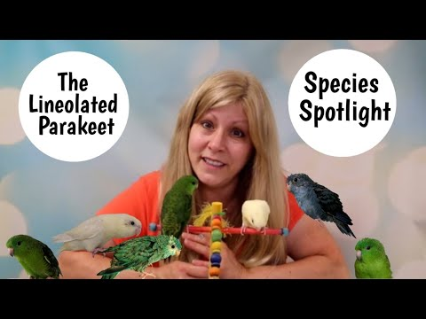 Lineolated Parakeet as Pets | Living with Linnies | Species Spotlight