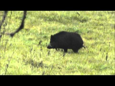 ILLINOIS WILD HOG HUNT, WORST HUNTER EVER LOL