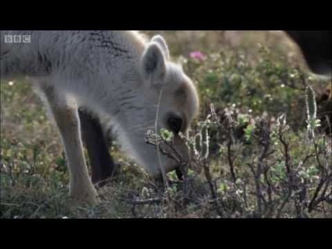 Wolves hunting Caribou - Planet Earth - BBC Video