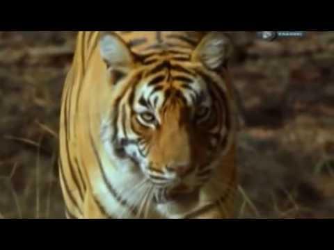 Звериные баталии! Сибирский тигр против бурого медведя!6 серия