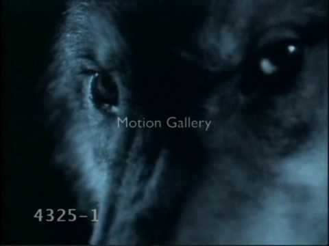 Wolf Song (Just call my name I'll be there) Video
