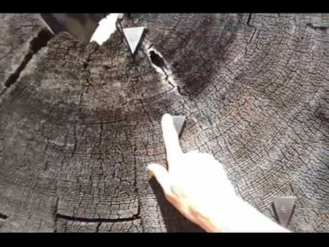 Sequoia National Park Tree shows Time Events on Growth Rings