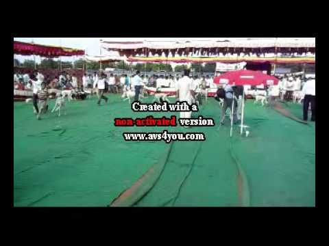 mudhol hound dog show youtube jan 31 2011 historic mudhol hound dog