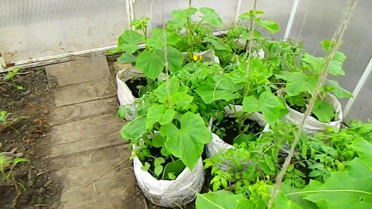Выращивание огурцов в парниках 87