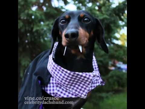 Crusoe Best Vine Video Compilation - Dachshund Fan Club