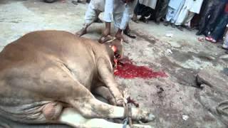 cow say Allah.avi