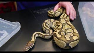 Olympus Reptiles Episode #28 Snake Shedding