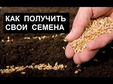 Свои семена – своими руками! (помидоры, огурцы, перец, морковь, свекла, капуста и пр.)