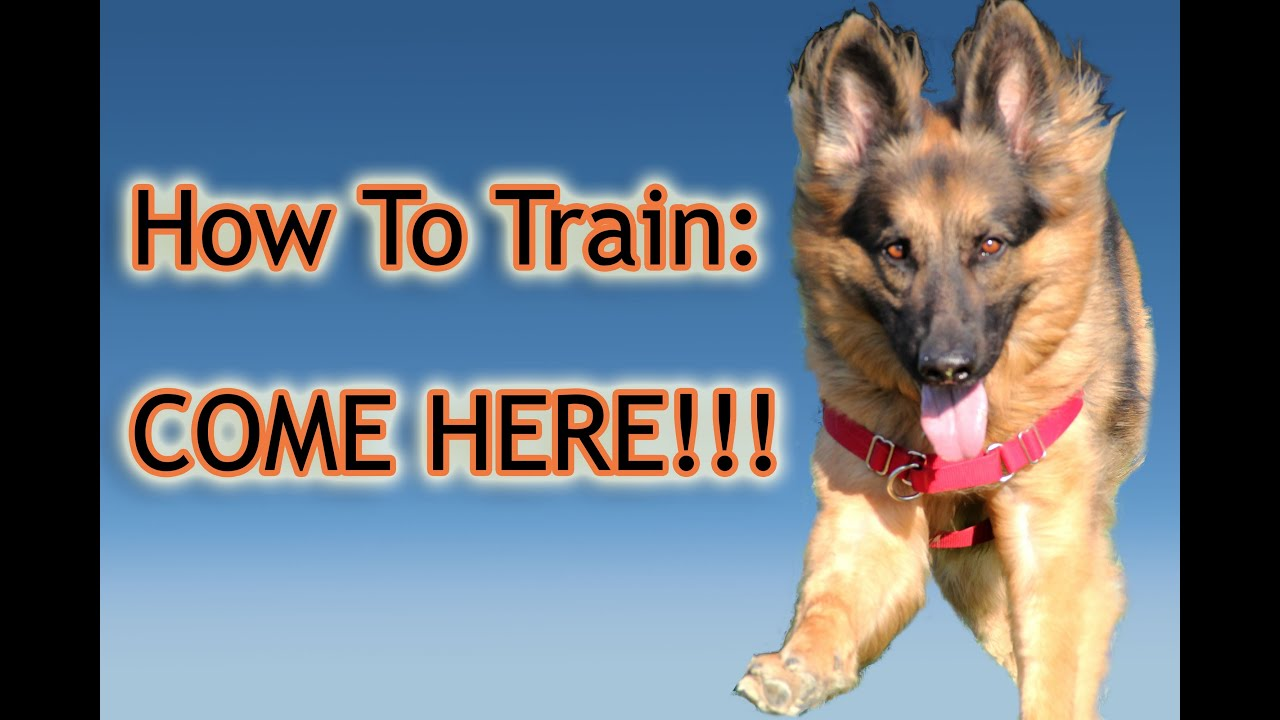 How To Train A Dog To Listen When Called