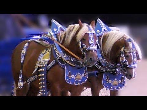 Video донская и буденновская порода золотая лошадь золото ро.