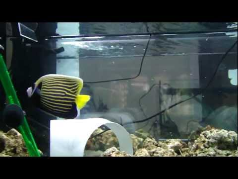 Emperor Angelfish Imperator in quarantine  feeding